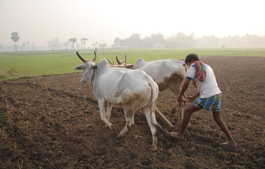 Ploughing with cattle